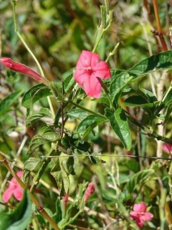 Photographer:www.blossomlikeaflower.com | Heroic Action (Arrhostoxylum costatum-Ruellia elegans)