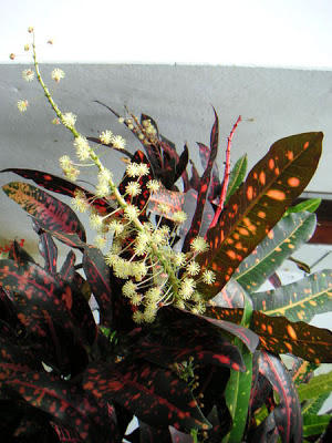 Photographer:www.blossomlikeaflower.com | Power to Reject Adverse Suggestions (Codiaeum variegatum)
