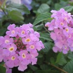 Emotional Beauty in the Cells (Lantana)