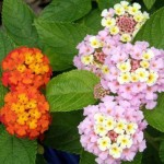 Supramental Influence in the Cells (Lantana)