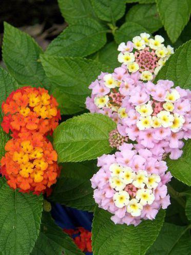 Photographer:www.blossomlikeaflower.com | Supramental Influence in the Cells (Lantana)