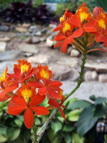 Photographer:www.blossomlikeaflower.com | Attachment of the Cells to the Divine (Epidendrum X obrienianum)