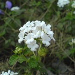 Purity in the Cells  (Lantana)