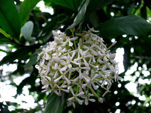 Photographer:www.blossomlikeaflower.com | Peace in the Cells (Ixora thwaitesii)