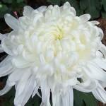Purified Dynamic Life Energy (Chrysanthemum Xmorifolium)