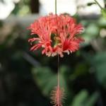 Flame (Hibiscus schizopetalus)