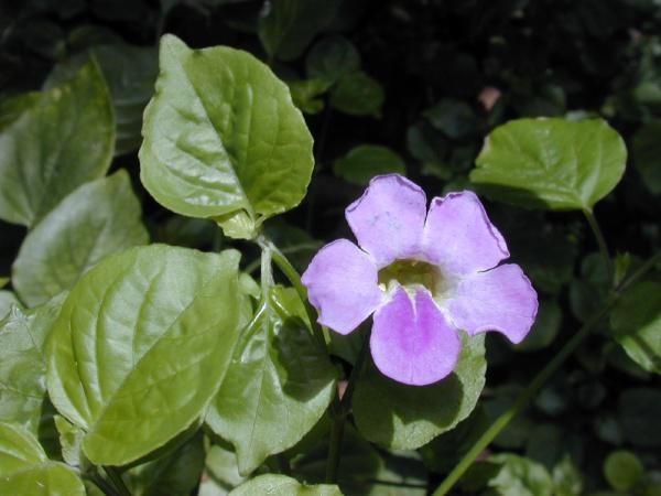 Photographer:www.blossomlikeaflower.com | Vital Trust in the Divine (Asystasia gangetica)