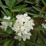 Quiet Mind (Nerium oleander)