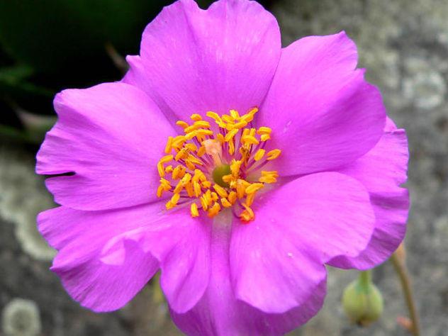 Photographer:www.blossomlikeaflower.com | Material Power to Heal (Calandrinia grandiflora)