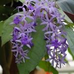 Spiritual Power of Healing (Petrea volubilis)