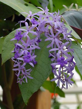 Photographer:www.blossomlikeaflower.com | Spiritual Power of Healing (Petrea volubilis)