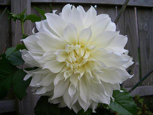 Photographer:http://www.blossomlikeaflower.com/ | Superhumanity (Dahlia)