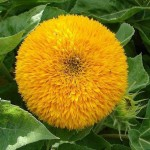 Intensity of the Consciousness in the Full Supramental Light (Helianthus)