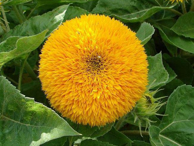 Photographer:http://www.blossomlikeaflower.com/ | Intensity of the Consciousness in the Full Supramental Light (Helianthus)