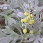 Thirst to Understand (Crossostephium artemisioides)