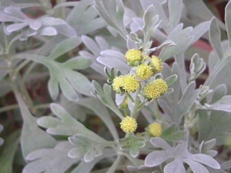 Photographer:www.blossomlikeaflower.com | Thirst to Understand (Crossostephium artemisioides)