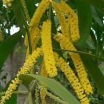 Work (Acacia auriculiformis)