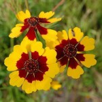 Cheerfulness in Work for the Divine (Coreopsis tinctoria)