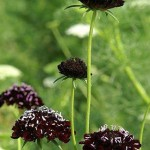 Blessings on the Material World (Scabiosa atropurpurea)