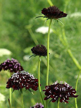 Photographer:www.blossomlikeaflower.com | Blessings on the Material World (Scabiosa atropurpurea)