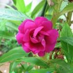 Impatiens balsamina - Perfect Generosity in the Vital