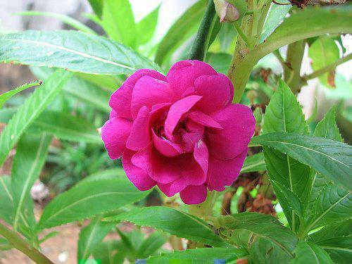 Photographer:www.blossomlikeaflower.com | Impatiens balsamina - Perfect Generosity in the Vital