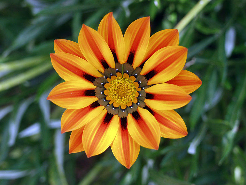 Photographer:www.blossomlikeaflower.com | Seeking for Clarity (Gazania)