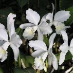 The Aim of Existence is Realised (Cattleya Orchid)