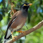 Martin triste or Myna (in English)