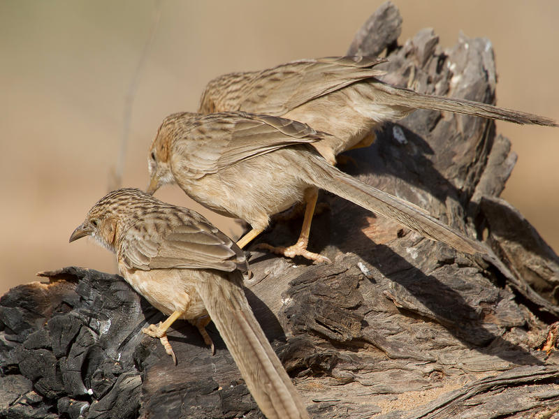 Photographer:From internet | Sept soeurs or seven sisters or Babblers