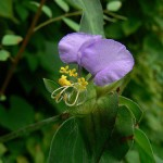First Conscious Reception of the Light in Nature (Commelina)