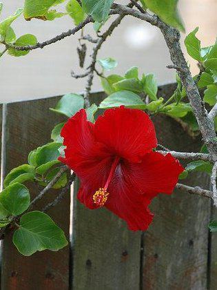 Photographer:www.blossomlikeaflower.com | Power of Action (Hibiscus rosa-sinensis)