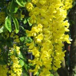 Descent of the Light (Laburnum anagyroides)
