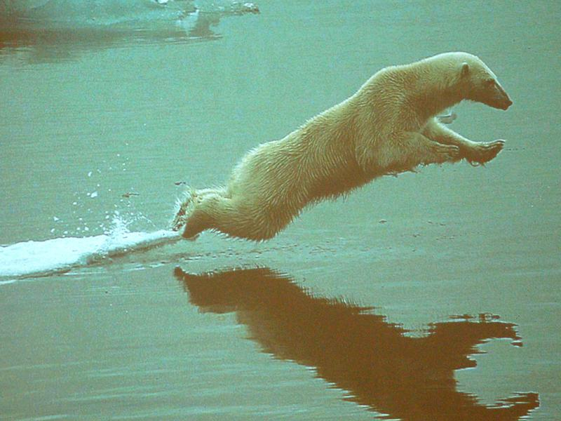 Photographer:Frida | How could we help this arctic bear?