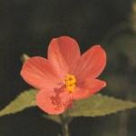Eternal Youth (Hibiscus hirtus)