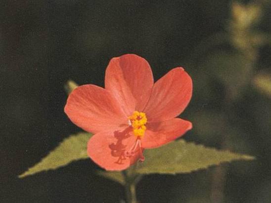 Photographer:www.blossomlikeaflower.com | Eternal Youth (Hibiscus hirtus)