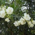 Perfect Quietness in the Mind (Nerium oleander)