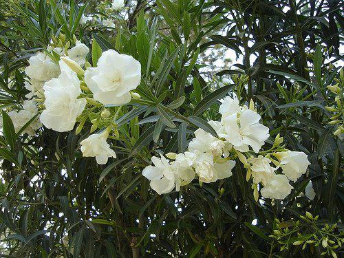 Photographer:www.blossomlikeaflower.com | Perfect Quietness in the Mind (Nerium oleander)