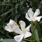 Quietness Established in the Mind (Nerium oleander)