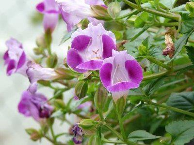 Photographer:www.blossomlikeaflower.com | Krishna's Play (Torenia fournieri)