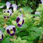 Krishna's Play in Matter (Torenia fournieri)