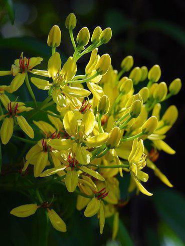 Photographer:www.blossomlikeaflower.com | Mental Honesty (Tristellateia australasiae)