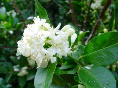 Photographer:www.blossomlikeaflower.com | Absence of Desire (Atalantia monophyll)