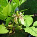 Devotional attitude (Aegle marmelos,Bael tree, Bengal quince)