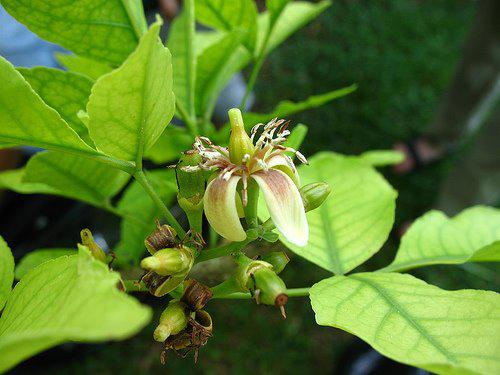 Photographer:www.blossomlikeaflower.com | Devotional attitude (Aegle marmelos,Bael tree, Bengal quince)