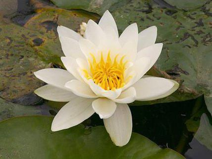 Photographer:www.blossomlikeaflower.com | Integral Wealth of Mahalakshmi (Nymphaea)