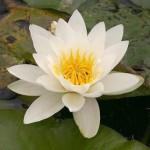 Integral Wealth of Mahalakshmi (Nymphaea)