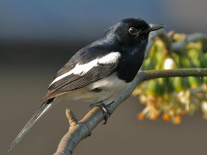 Photographer:web   Oreintal Magpie Robin