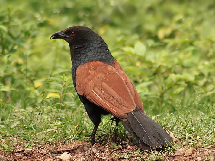 Photographer:web | Southern Coucal