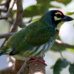 Ceoppersmith Barbet